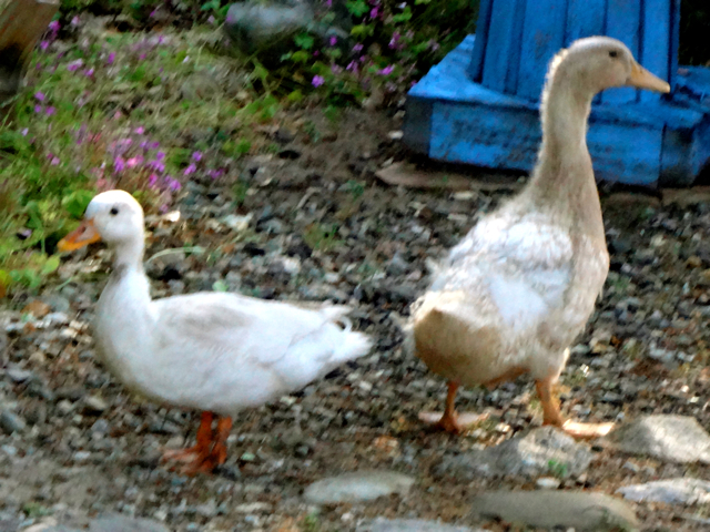 Quack Quack Bigger 2