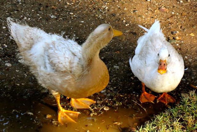 Quack Quack Bigger