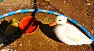 Quack Quack Duckling
