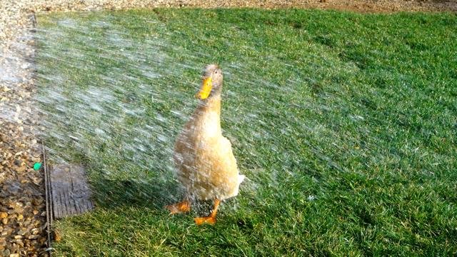 Quack Quack Shower