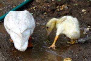 Quack Quack trying
